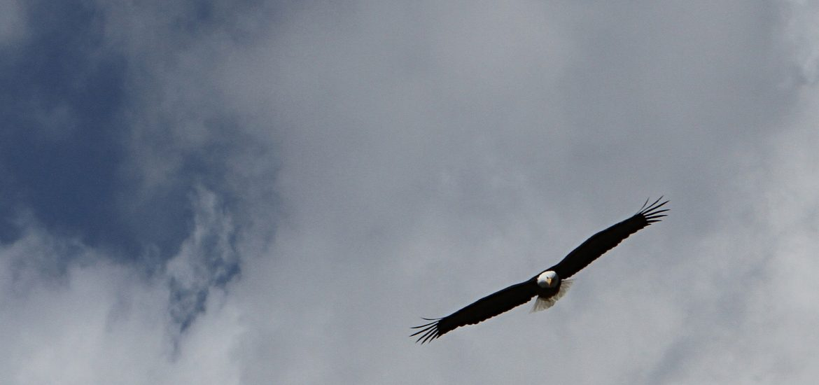 Bald eagle soaring nearby in partly cloudy sky