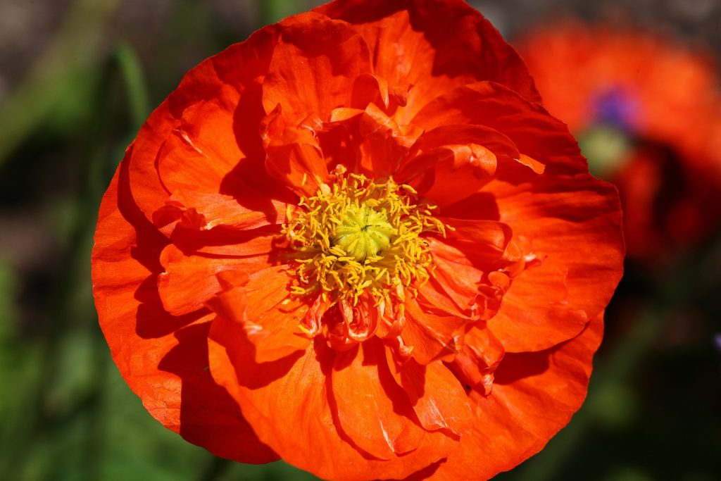 Closeup of bright orange and yellow poppy blossom