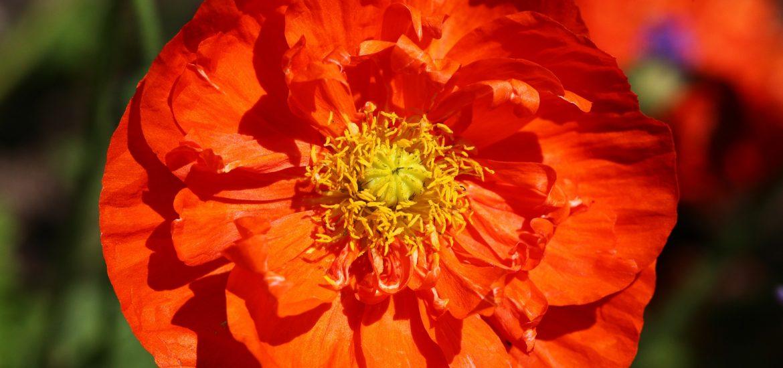 Closeup of bright orange and yellow poppy blossom