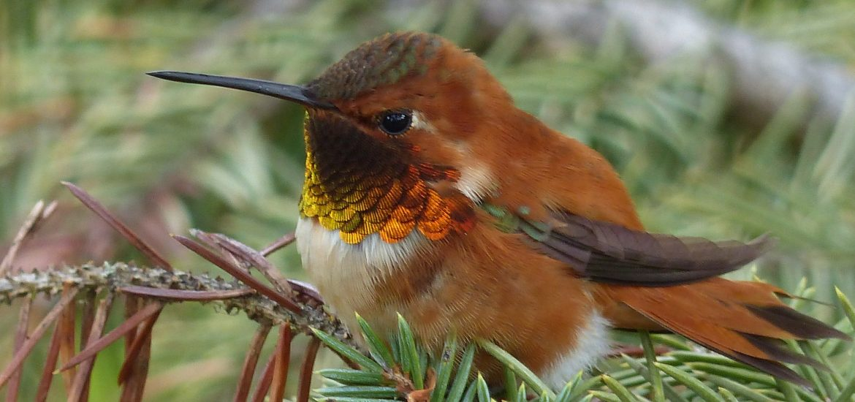 Upclose view of rufous hummingbird nestled amongst pine needles