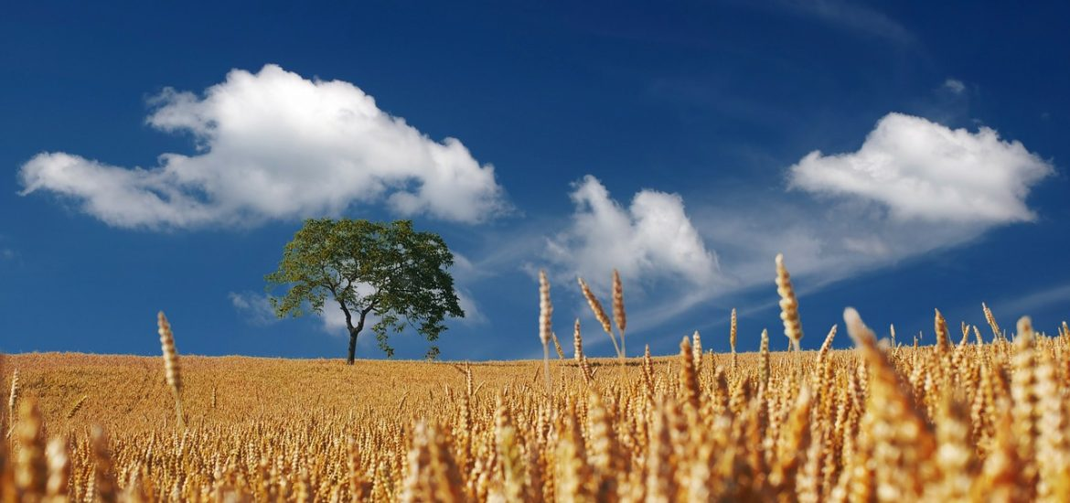 One tree in a field of wheat under blue sky and white clouds