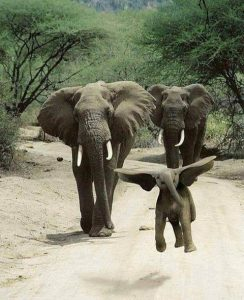 Baby elephant leaping with ears out like wings, followed by 2 adult elephants